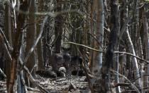 Herten rusten in bossen Oranjewoud
