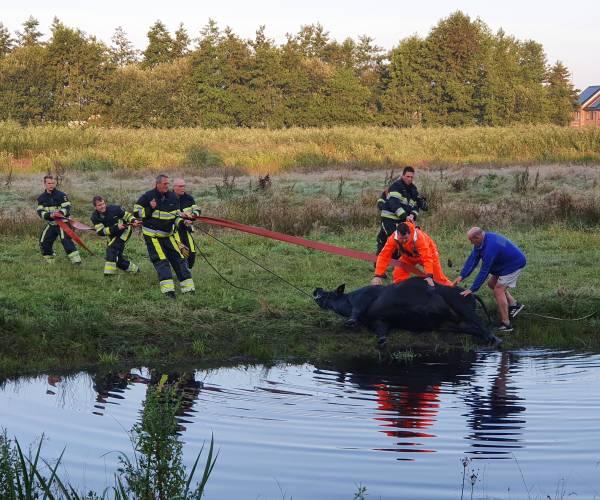 Brandweer haalt zwemmende koe uit het water nabij Museum Belvedère