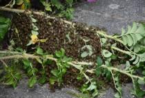 Imker haalt bijenvolk uit struikgewas aan de Kornelis De Wildestraat