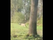 Loopt er een wolf in de omgeving van Oranjewoud?