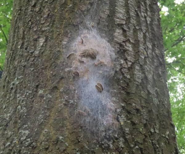 Eerste eikenprocessierupsen weer aangetroffen in de gemeente Heerenveen