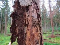 Boswerkzaamheden in Oranjewoud vanwege schadelijke schorskever